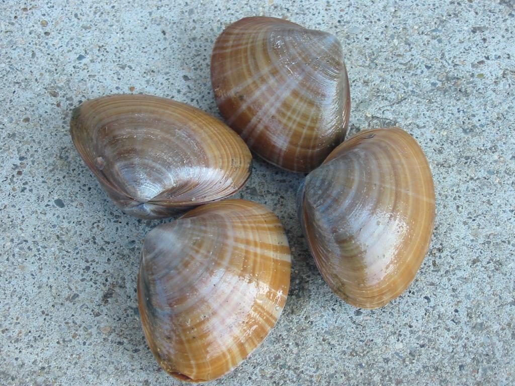 砂さえ出せれば美味しい貝です。 食用可 (美味) 砂出しが困難な貝ですが美味です。 大型の貝はむ